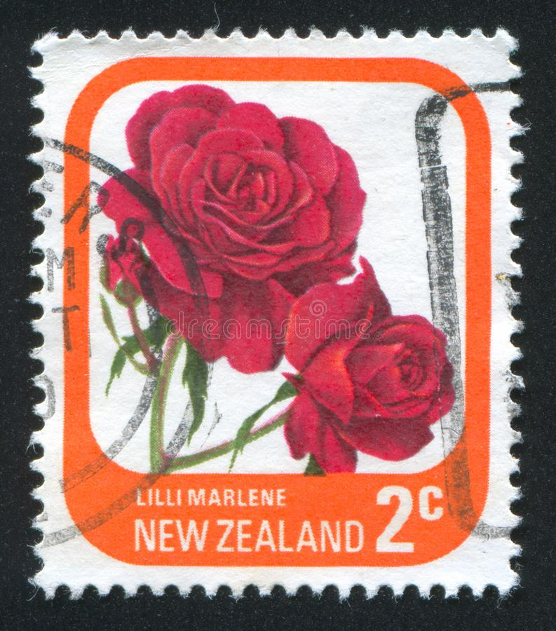 Bloem Rose Marlene royalty-vrije stock afbeelding