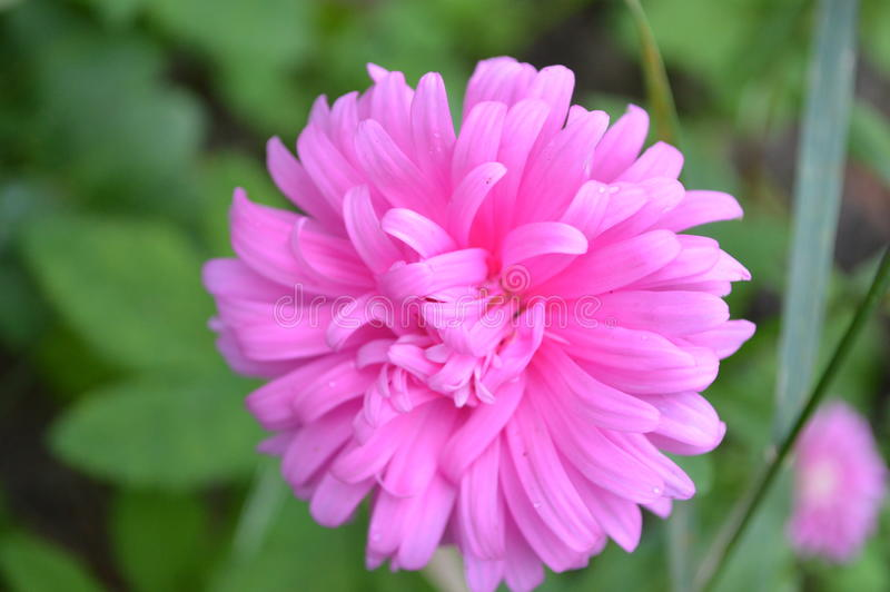 Bloem roze Aster royalty-vrije stock afbeelding