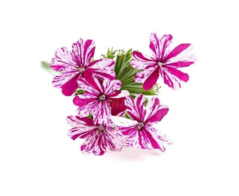 Bloem roze ijzerkruid stock afbeeldingen