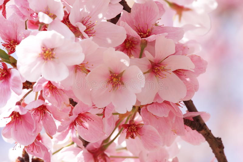 Bloem Sakura royalty-vrije stock afbeelding