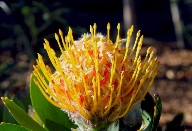 Bloem van Afrikaanse Protea stock afbeeldingen