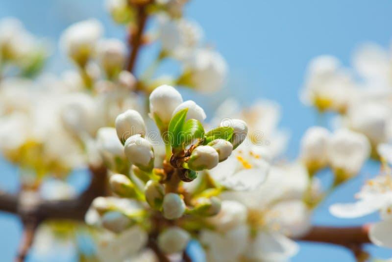 Bloem van appelboom over blauwe hemel stock foto's