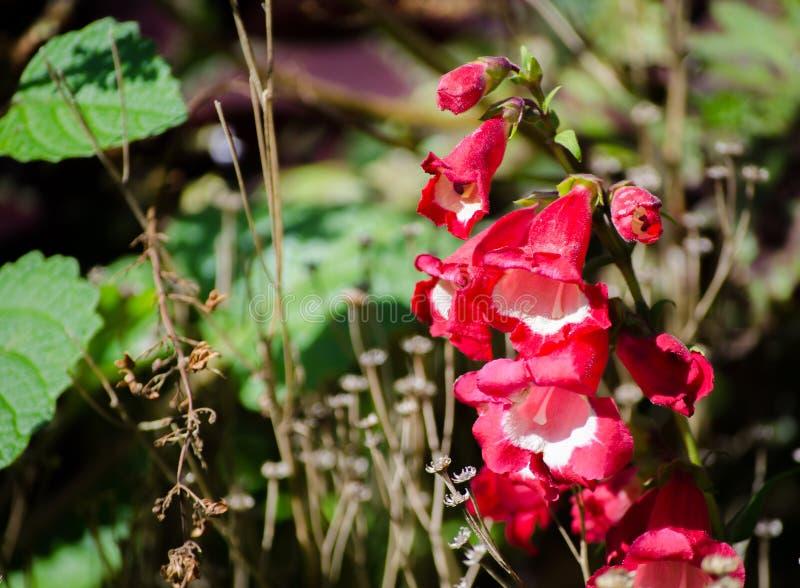 Bloem van close-up de Mooie rood-roze digitalissen in een lentetijd bij een botanische tuin stock afbeelding
