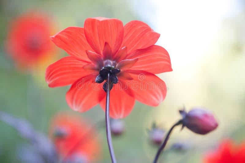 Bloem van de achtereind de mooie Rode aster met perfect stock afbeelding