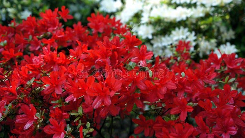 Bloem van de close-up de rode en witte mooie azalea stock fotografie
