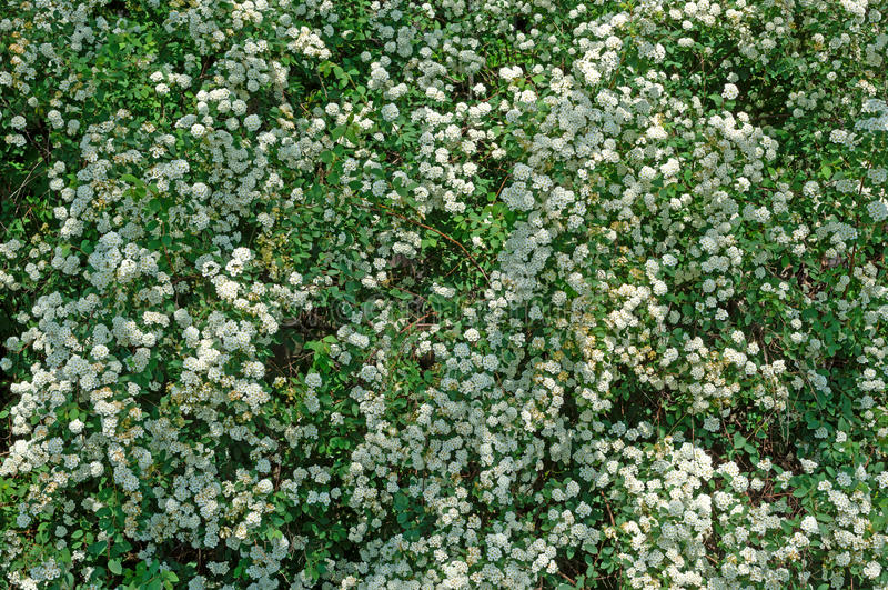 Bloem van de Spiraea de alpiene lente stock afbeelding