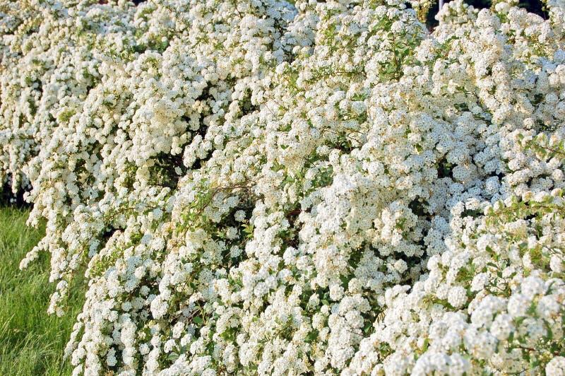Bloem van de Spiraea de alpiene lente royalty-vrije stock afbeelding