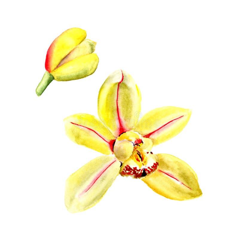 Bloem van de waterverf de gele die orchidee op witte achtergrond wordt geïsoleerd Abstracte bloemenachtergrond vector illustratie