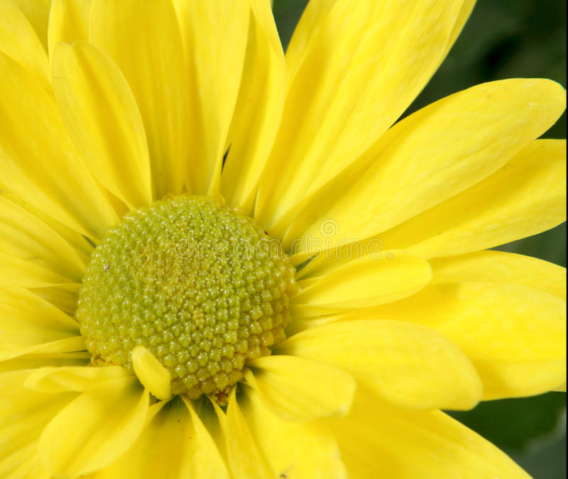 Bloem van een chrysant royalty-vrije stock afbeelding