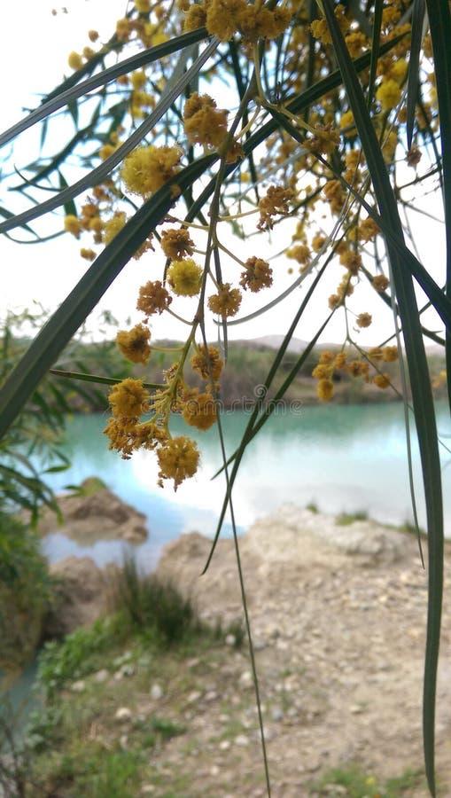 Bloem van een mimosaboom stock afbeelding