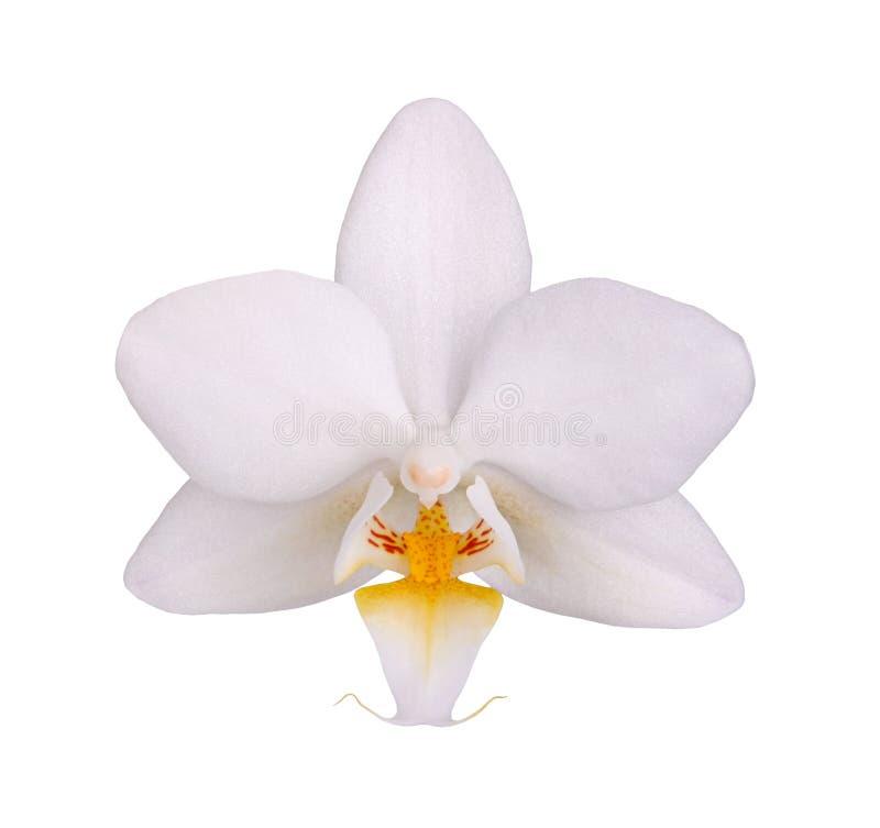 Bloem van een witte en gele Phalaenopsis-geïsoleerde orchidee royalty-vrije stock afbeeldingen