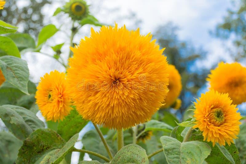 Bloem van een zonnebloem in de vorm van een bal stock afbeelding
