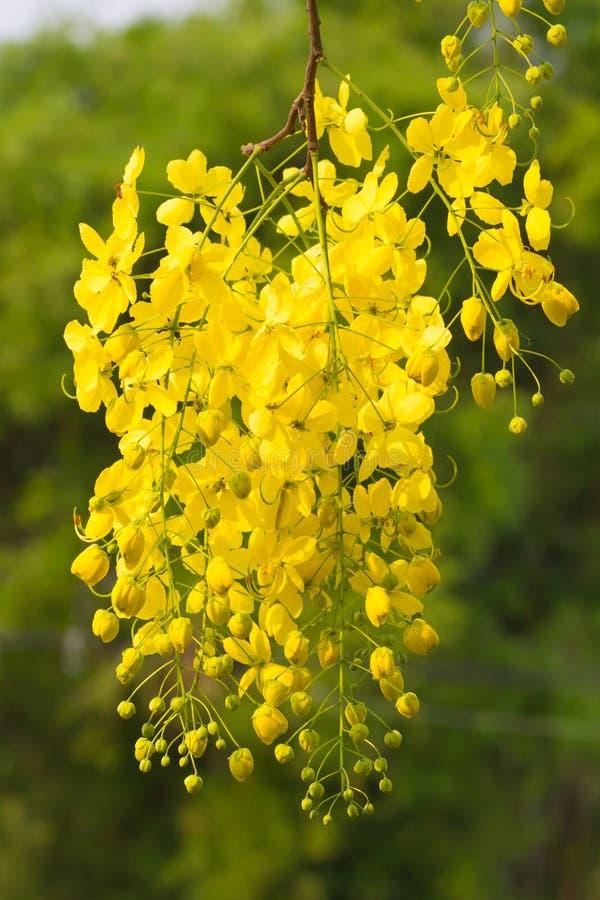 Bloem van Gouden Doucheboom stock foto's