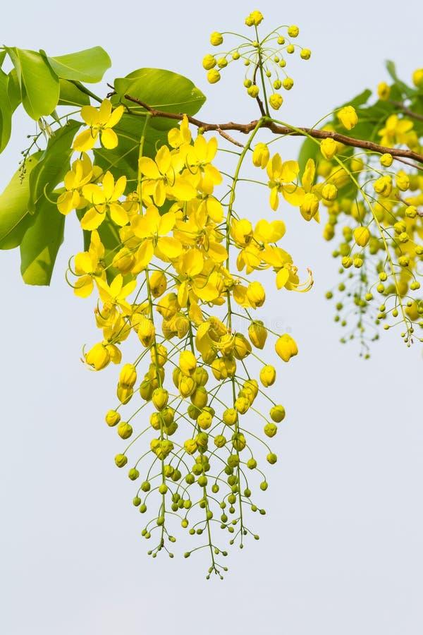 Bloem van Gouden Doucheboom stock fotografie