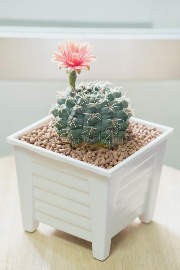 Bloem van Gymnocalycium-Cactus royalty-vrije stock afbeeldingen