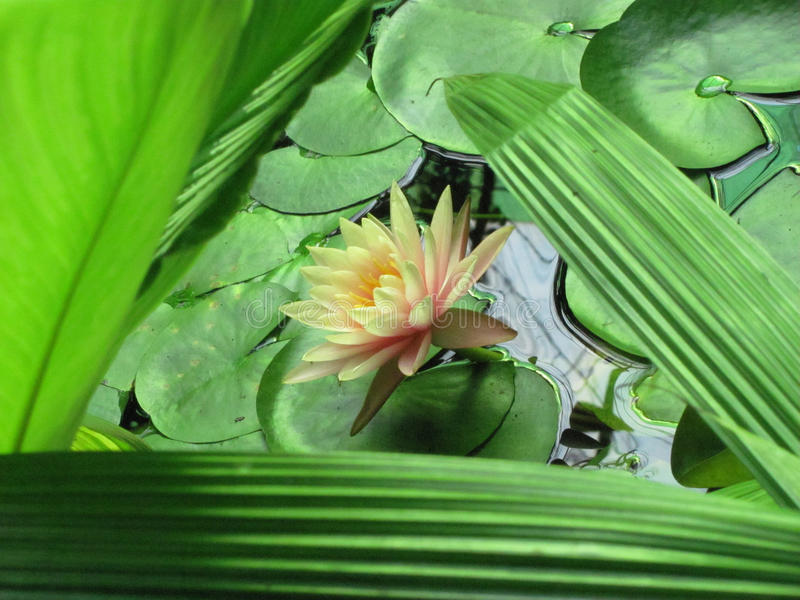Bloem van lotusbloem binnen bladeren in driehoek royalty-vrije stock fotografie