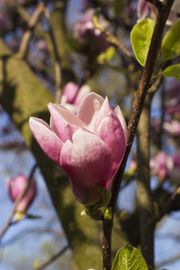 Bloem van Magnolia Ã- Soulangeana stock afbeeldingen
