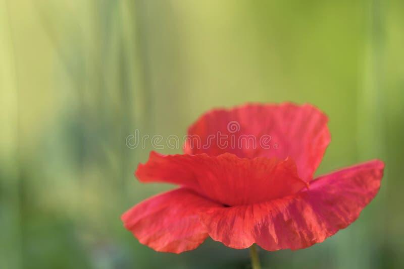 Bloem van rode papaverclose-up stock foto