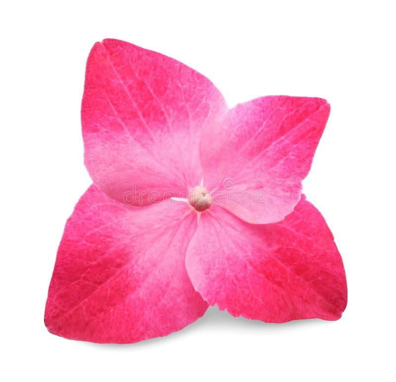 Bloem van roze hortensia stock afbeelding