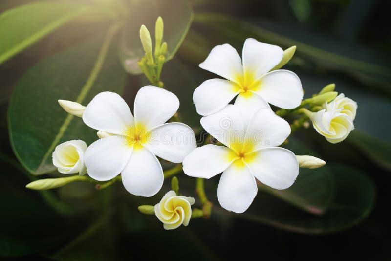 bloem van schoonheids de witte plumeria op boom in tuin met zonneschijn stock foto