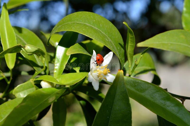 Bloem van Sicilië, Close-up van Clementine Flower met een Onzelieveheersbeestje op het royalty-vrije stock foto