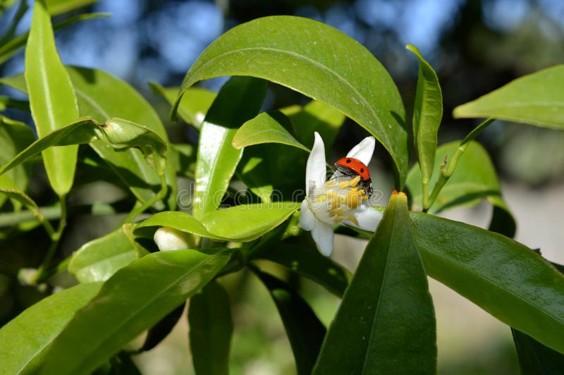 Bloem van Sicilië, Close-up van Clementine Flower met een Onzelieveheersbeestje op het royalty-vrije stock afbeeldingen