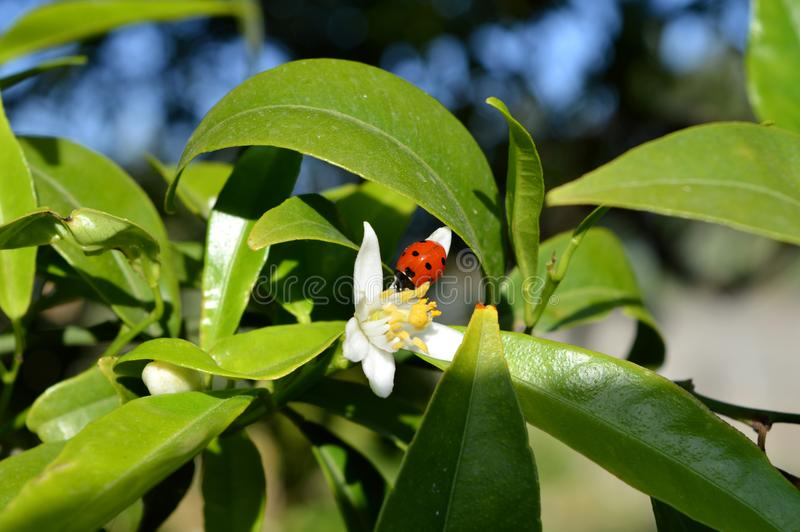 Bloem van Sicilië, Close-up van Clementine Flower met een Onzelieveheersbeestje op het stock foto