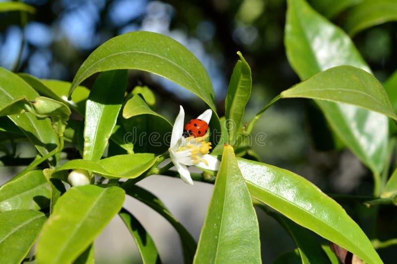 Bloem van Sicilië, Close-up van Clementine Flower met een Onzelieveheersbeestje op het royalty-vrije stock afbeelding