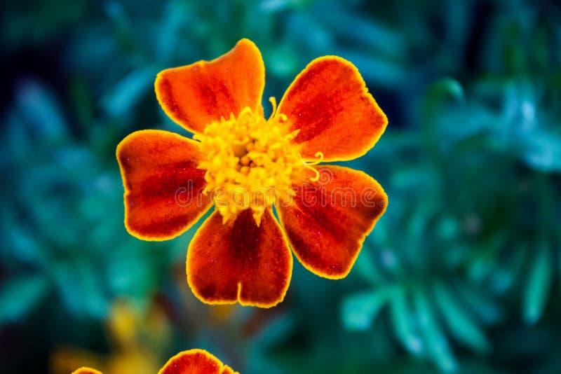 Bloem van vijf bloemblaadjes royalty-vrije stock afbeeldingen
