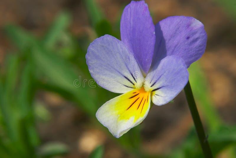 Bloem van viooltje stock foto