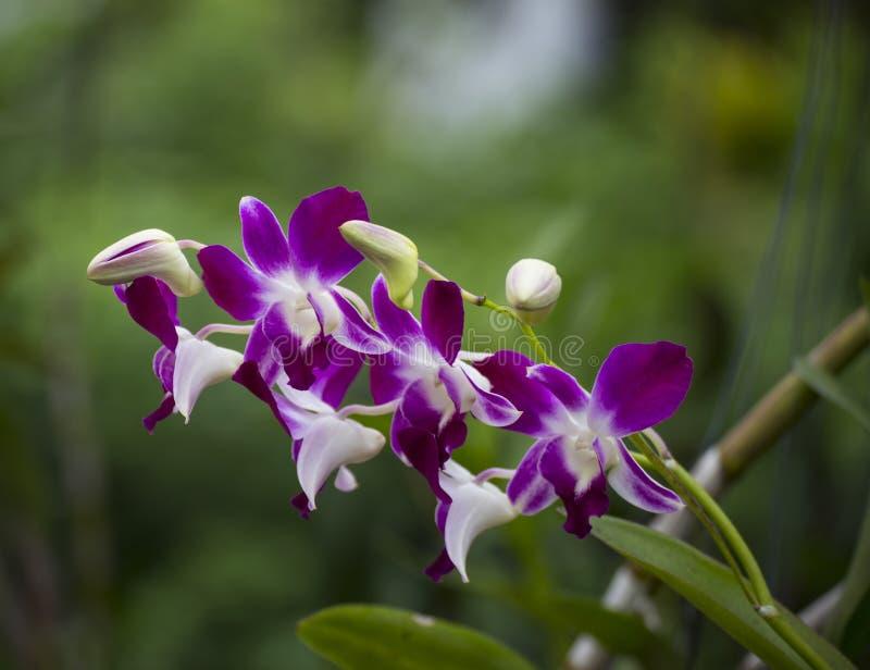 Bloem van wilde violette en witte orchidee stock foto's