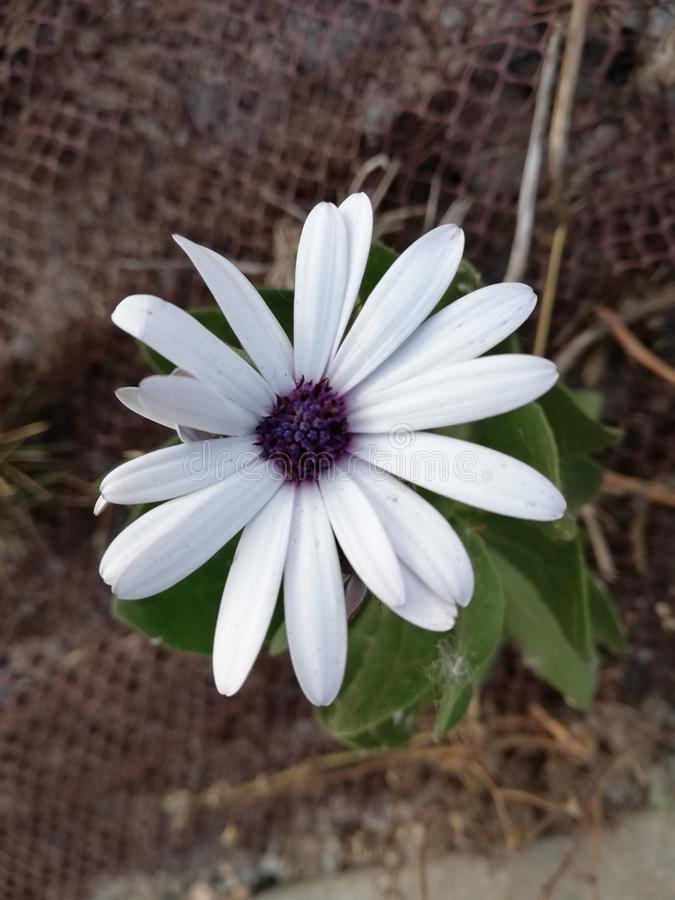 Bloem van witte bloemblaadjes stock fotografie