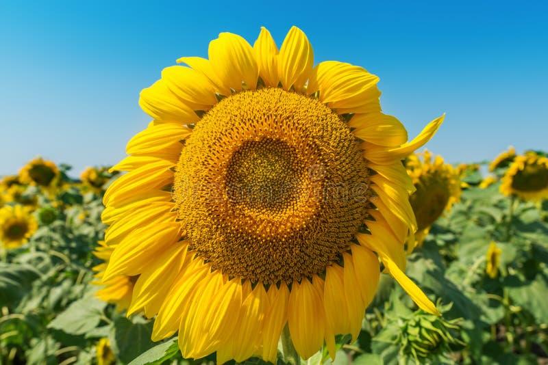 Bloem van zonnebloem in gebiedsclose-up royalty-vrije stock afbeeldingen