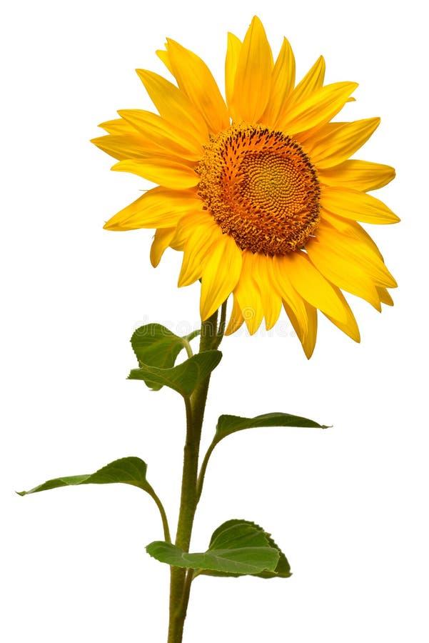 Bloem van zonnebloem op witte achtergrond wordt geïsoleerd die Zaden en olie stock foto