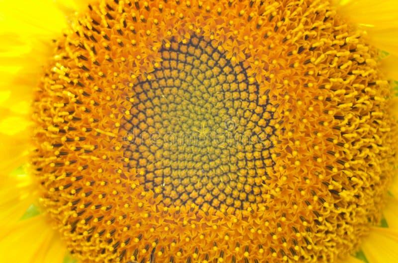Bloem van zonnebloemachtergrond Zaden en olie Vlak leg, hoogste mening stock afbeeldingen