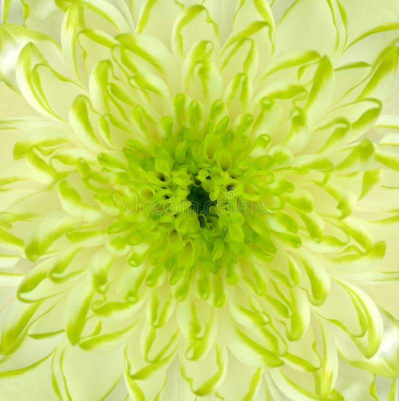 Bloem Vierkante Backround van de Chrysant van de kalk de Groene royalty-vrije stock afbeeldingen