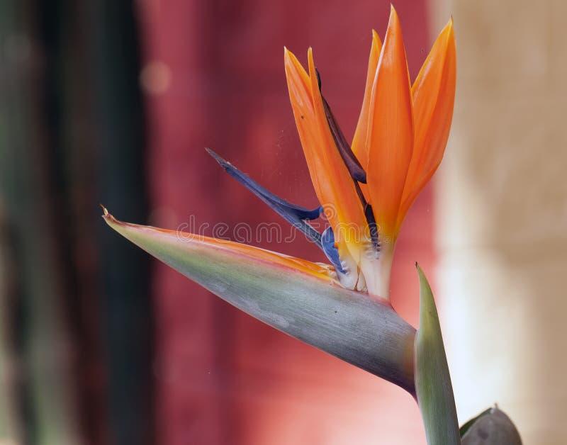 Bloem:Vogel van het Paradijs stock fotografie