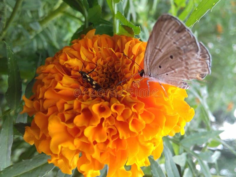 Bloem-zuigt door vlinder royalty-vrije stock afbeeldingen