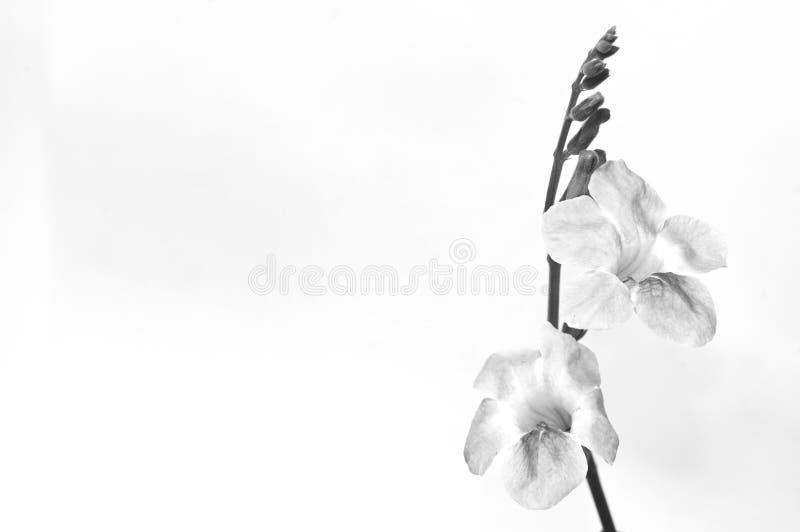 bloem in zwart-wit geïsoleerd op witte achtergrond royalty-vrije stock fotografie