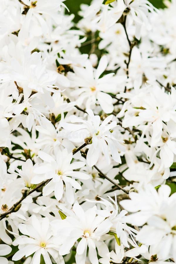 Bloemachtergrond van de witte Koninklijke Ster van Magnoliastellata royalty-vrije stock fotografie