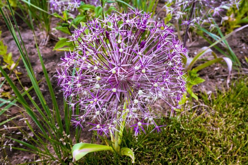 Bloemallium met scherpe lilac bloemblaadjes royalty-vrije stock afbeeldingen