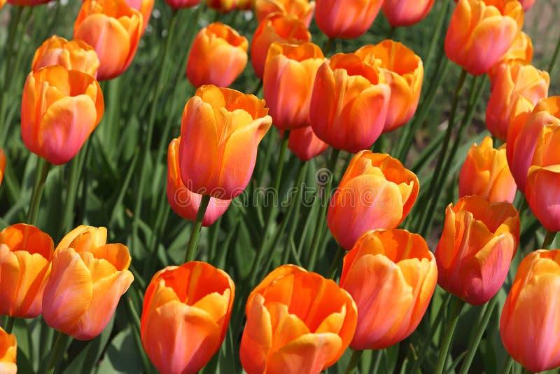 Bloembed met heldere mooie oranje tulpen stock afbeeldingen