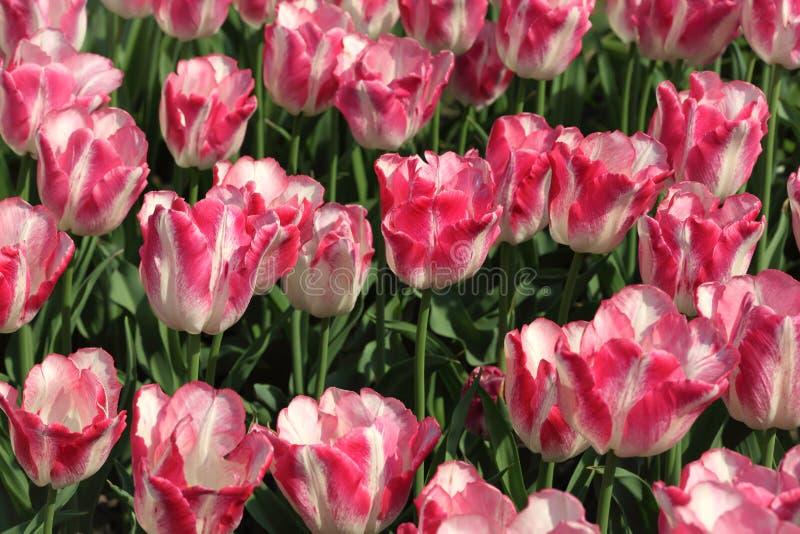 Bloembed met heldere roze en witte tulpen royalty-vrije stock foto's