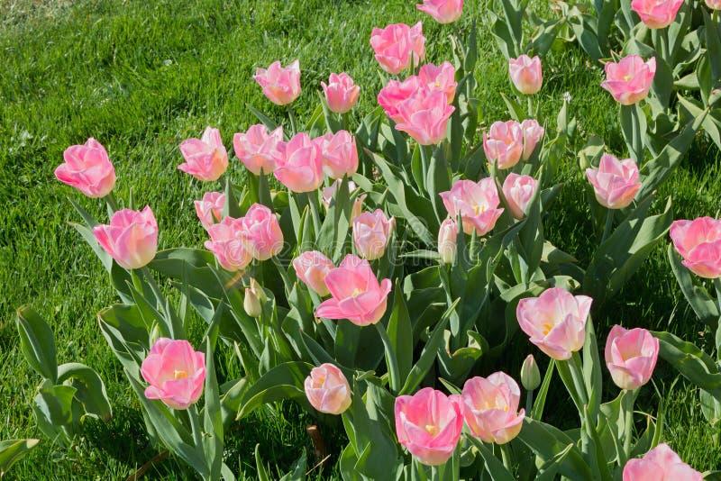 Bloembed met lichtrose tulpen royalty-vrije stock foto's
