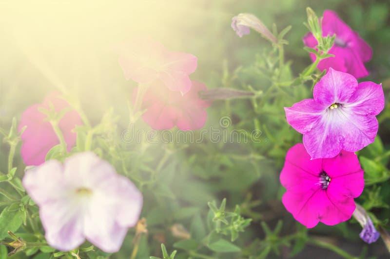 Bloembed met multicoloured hoogtepunt van het petuniabeeld van kleurrijke hybridabloemen van de petuniapetunia royalty-vrije stock afbeelding