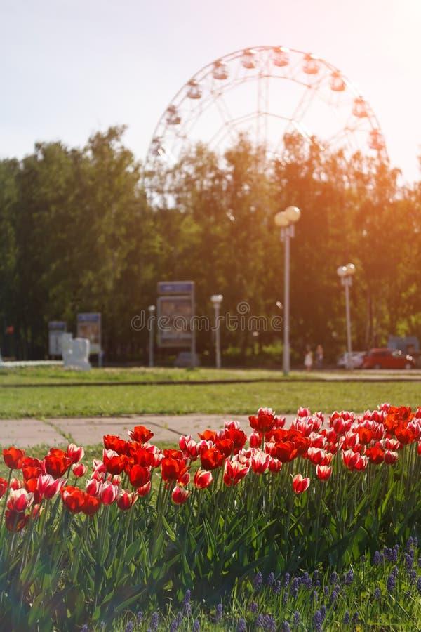 Bloembed met rode tulpen op achtergrond van stadspark met Reuzenrad royalty-vrije stock afbeeldingen