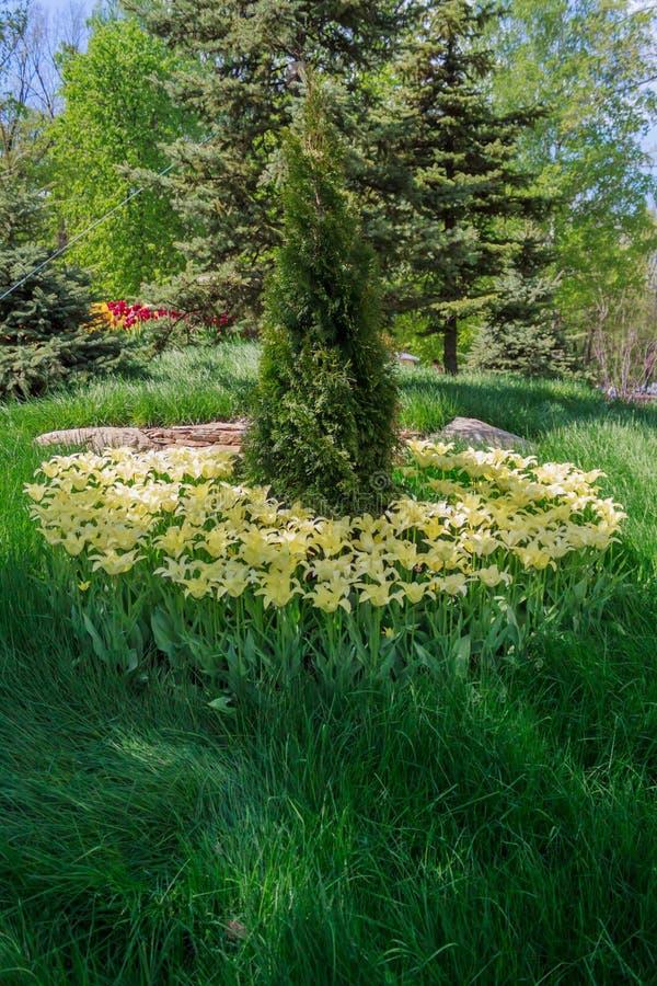 Bloembed met tulpen in de tuin royalty-vrije stock afbeelding