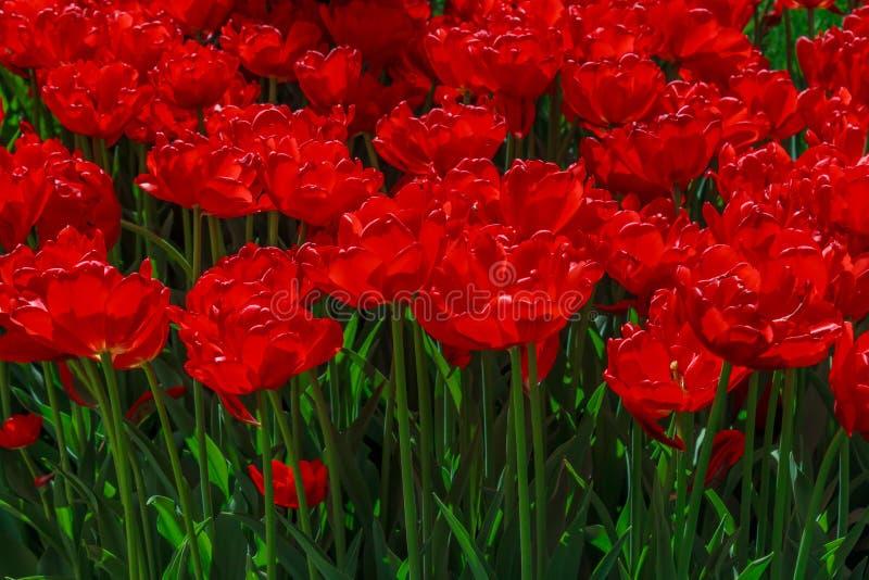 Bloembed met tulpen in de tuin stock foto's