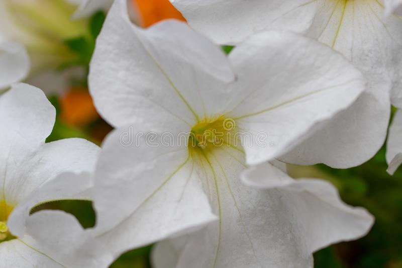 Bloembed met wit petunia/Beeldhoogtepunt van kleurrijke petunia royalty-vrije stock afbeeldingen