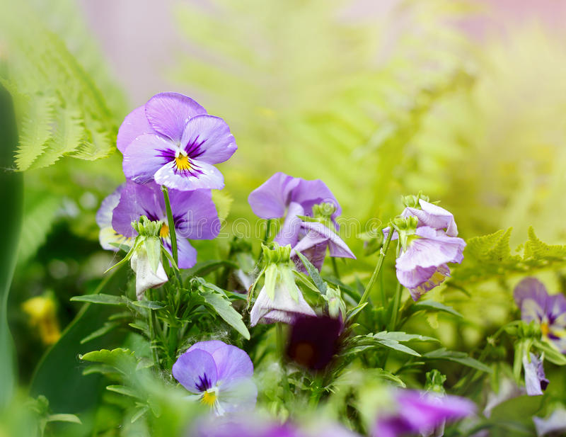 Bloembed van altviooltricolor of kus-me-snel (hart-gemak bloemen royalty-vrije stock afbeelding